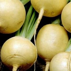 Turnip Golden Ball 1000 seeds