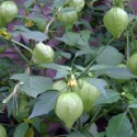 Tomatillo Verde 50 seeds