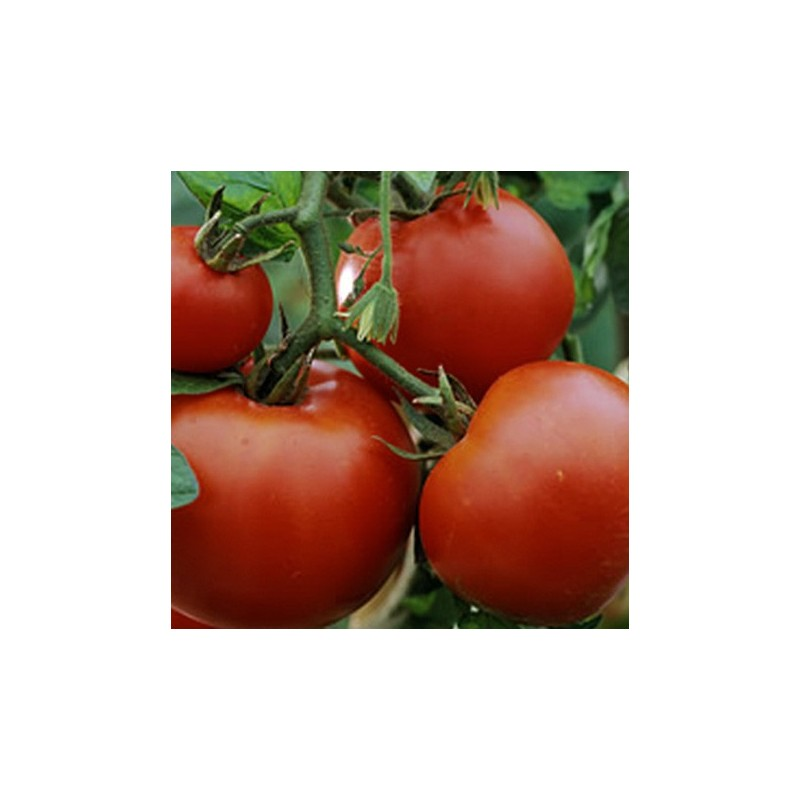 Tomato Amateur 50 seeds