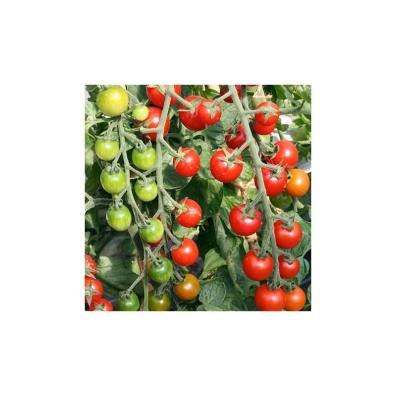 Tomato Cherrola F1 10 seeds