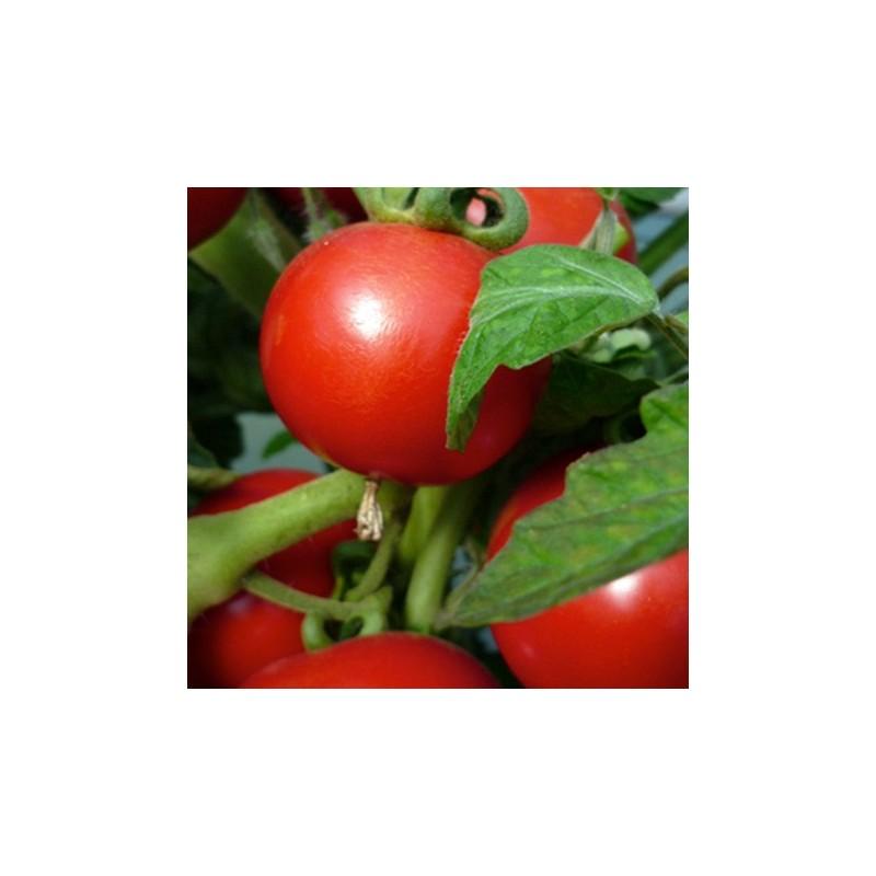 Tomato Craigella 50 seeds