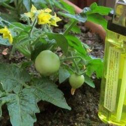 Tomato Micro Tom  10 seeds