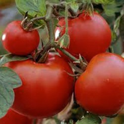 Tomato Outdoor Girl 50 seeds