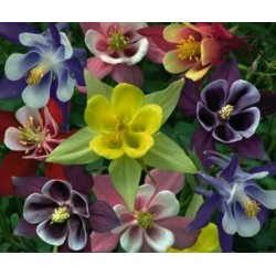 Aquilegia McKanas Giant Mix 150 seeds