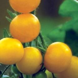Tomato Sunbaby 10 seeds