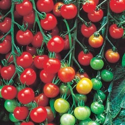 Tomato Supersweet 100 F1 5 seeds