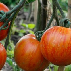 Tomato Tigerella 50 seeds