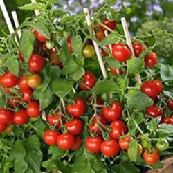 Tomato Tiny Tim 50 seeds