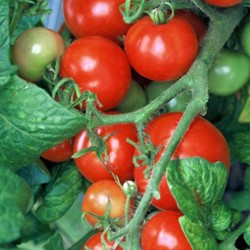 Tomato Totem F1 10 seeds