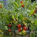 Tomato Tumbler F1 5 seeds