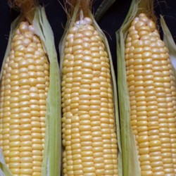 Sweetcorn Early Extra Sweet F1 40 seeds