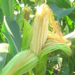 Sweetcorn Earlibird Supersweet F1 Hybrid 40 seeds