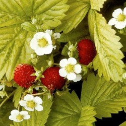 Strawberry Golden Alexandria 350 seeds
