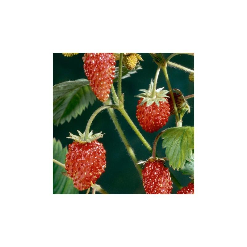 Strawberry Mignonette 200 seeds