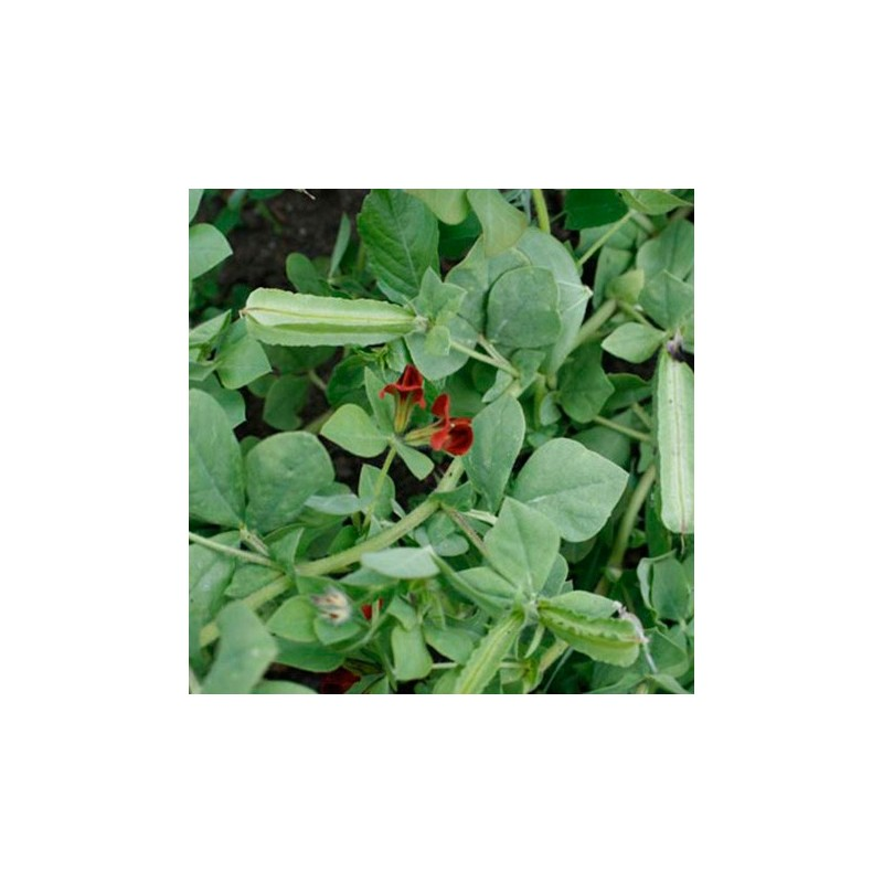 Asparagus Pea 25 seeds