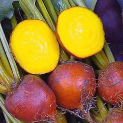 Yellow Beetroot Boldor F1 200 seeds