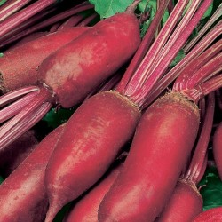 Beetroot Cylindra 400 seeds