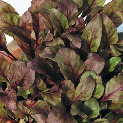 Beetroot Bull's Blood 300 seeds
