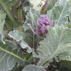 Broccoli Late Purple Sprouting 500 seeds