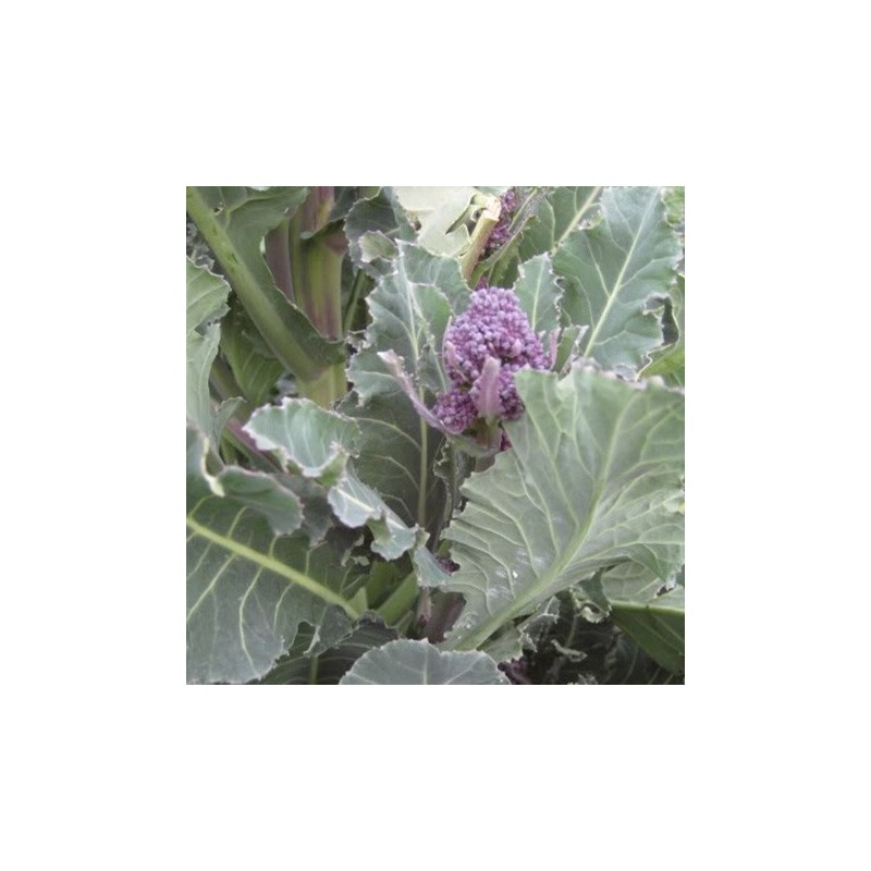 Broccoli Summer Purple Sprouting 100 seeds