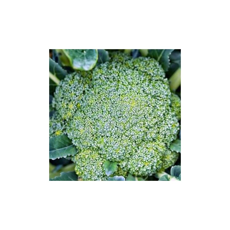 Calabrese Chevalier F1 50 seeds