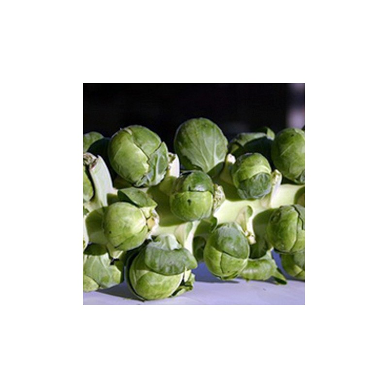 Brussels Sprout Montgomery F1 20 seeds