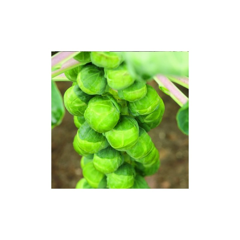Brussels Sprout Early Half Tall 300 seeds