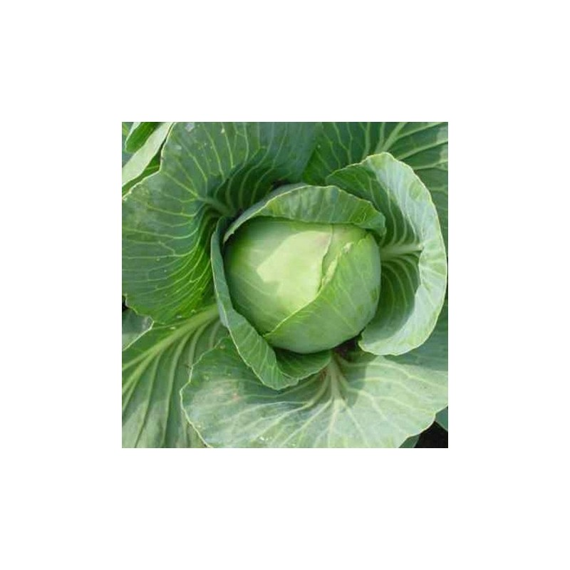 Cabbage Golden Acre 500 seeds