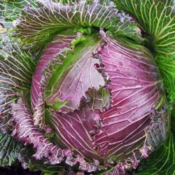 Cabbage January King 500 seeds