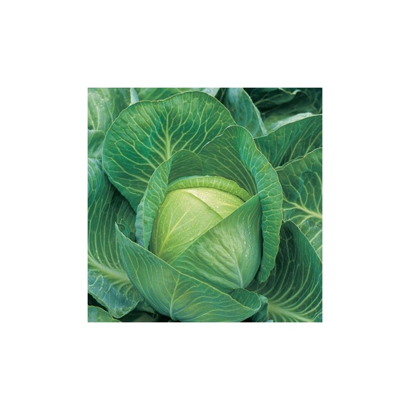 Cabbage Kilaton F1 20 seeds
