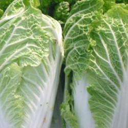Chinese Cabbage Wong Bok 500 seeds