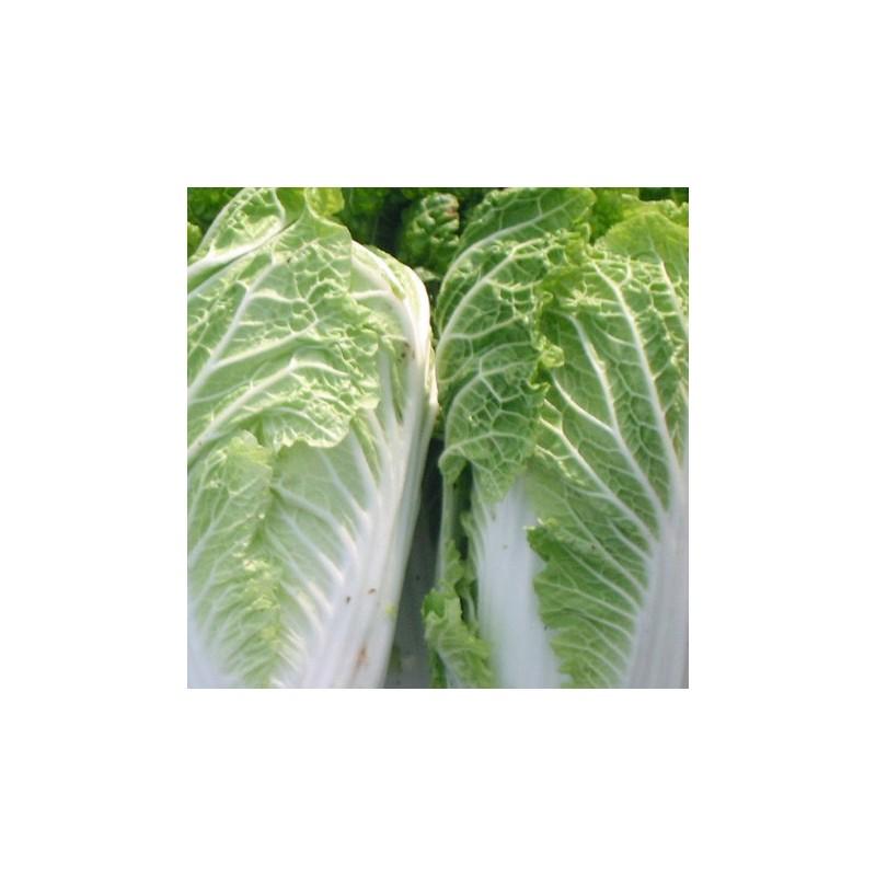 Chinese Cabbage Wong Bok 500 seeds