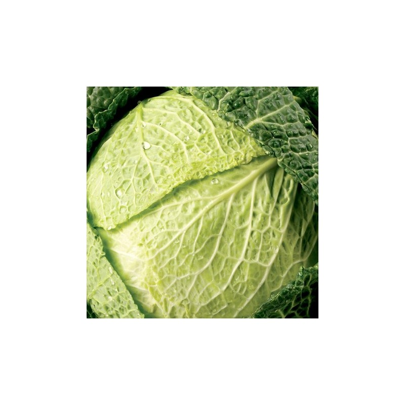 Savoy Cabbage Vertus 500 seeds