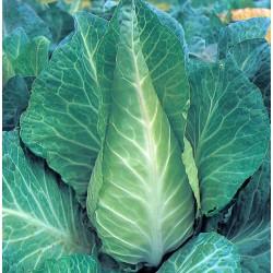 Cabbage Greyhound 500 seeds