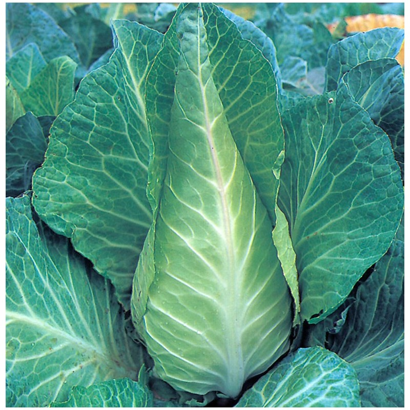 Cabbage Greyhound 500 seeds