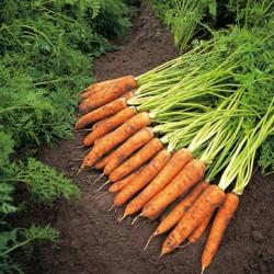 Carrot Amsterdam 2000 seeds