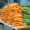Carrot Chantenay Red Core 2000 seeds
