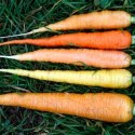 Carrot Rainbow F1 Hybrid 200 seeds