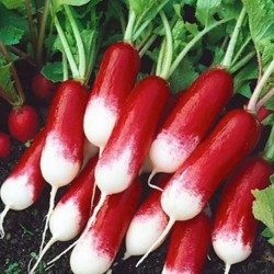 Radish French Breakfast 1000 seeds
