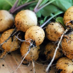 Radish Zlata Yellow 500 seeds