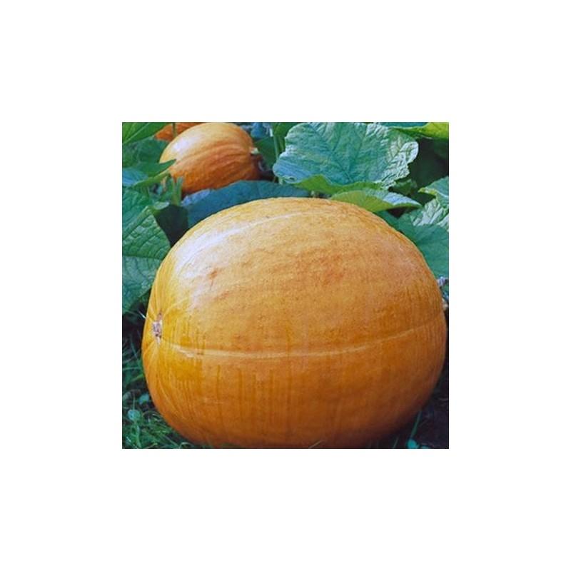 Pumpkin Big Max 15 seeds