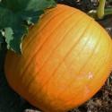 Pumpkin Connecticut Field 15 seeds