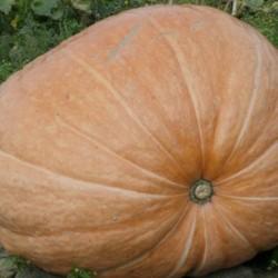 Pumpkin Dill's Atlantic Giant 6 seeds