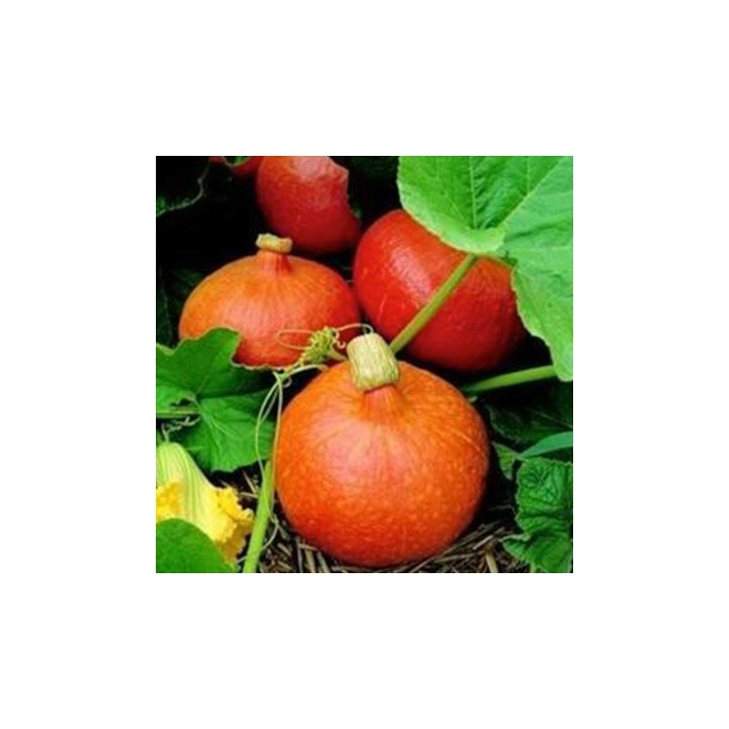 Pumpkin Uchiki Kuri 8 seeds