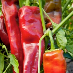 Sweet Pepper Long Red Marconi 50 seeds