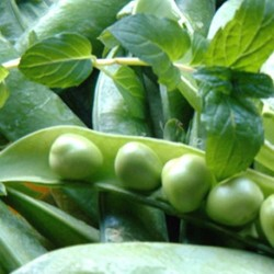 Pea Kelvedon Wonder 200 seeds