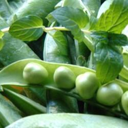 Pea Kelvedon Wonder 200 seeds