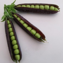 Pea Purple Podded 100 seeds