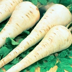 Parsnip Countess F1 250 seeds