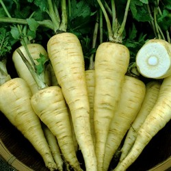 Parsnip Gladiator F1 250 seeds
